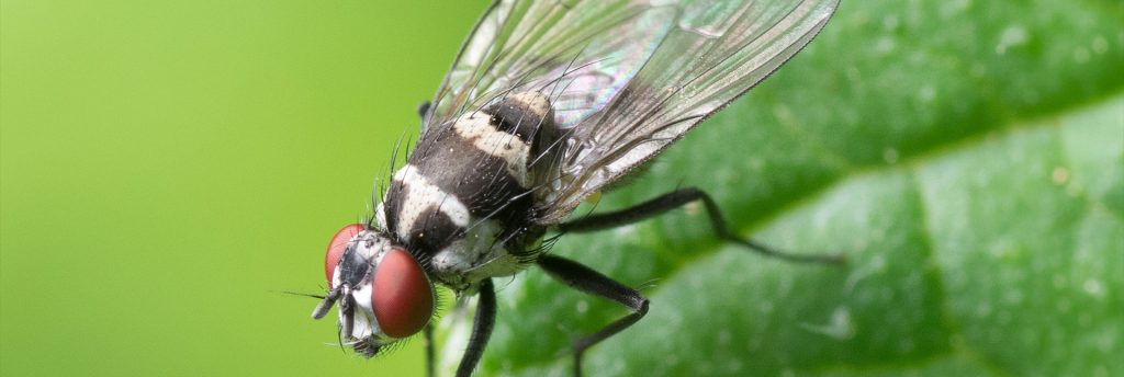 Fly removal and treatment