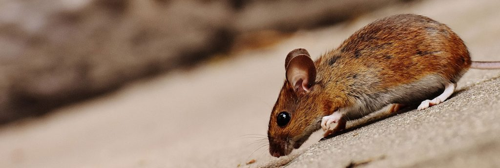 Mouse removal and mice control for West Yorkshire