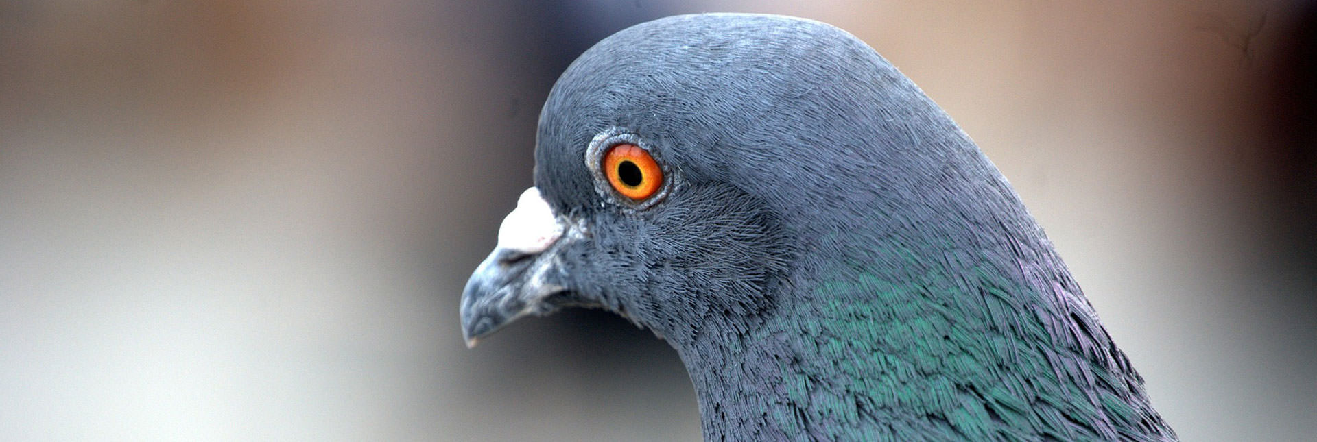 Pigeon Removal