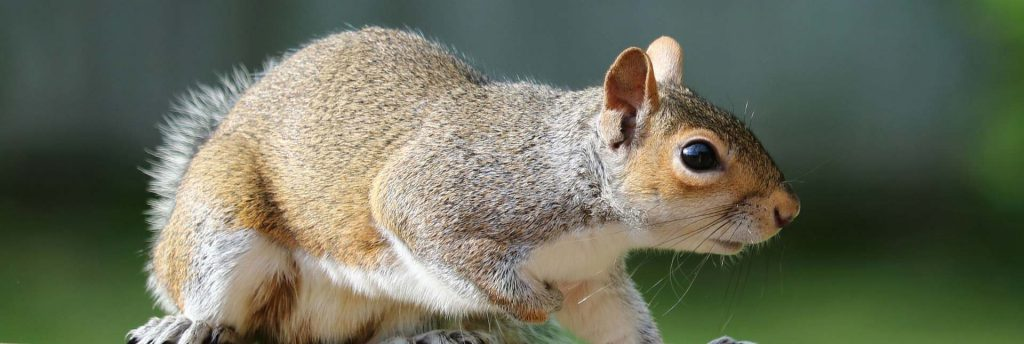 Squirrel removal West Yorkshire